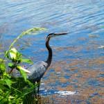 Paisaje de humedal con ave acuática